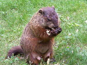 Groundhog, Nature's Prognosticator (Photo credit: Wikipedia)